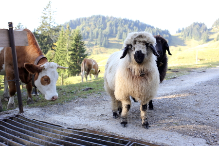 cattle grid: some different animals in the bavarian mountains Stock Photo