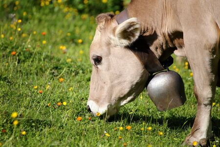 creamery: young cow with bell is eating on a flower field Stock Photo