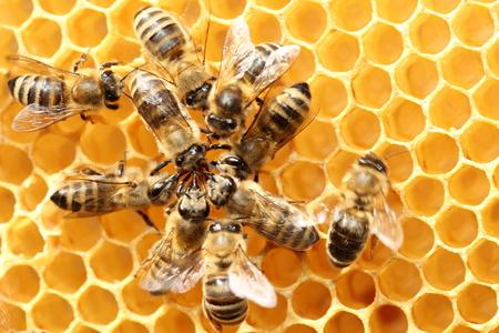 Sommige dansende bijen in cirkel op een bijenwas Stockfoto - 74087458
