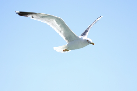 a flying seagull with blue sky background 免版税图像