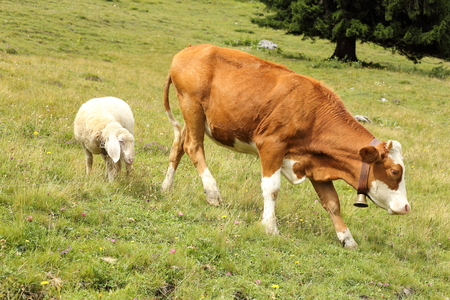 friendship between a sheep and a young cow