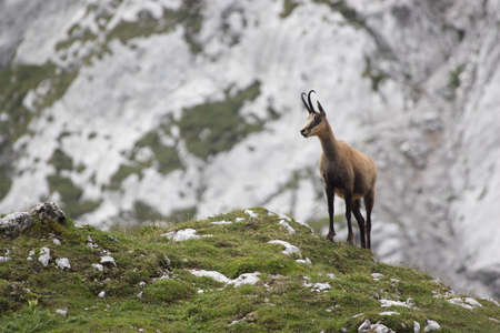 one chamois is standing in front of a rock wall