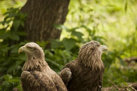 accipitridae: Bird of prey - eagle (family Accipitridae) Stock Photo