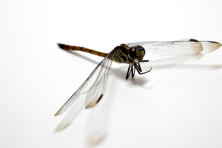 fragility: The corpse of a dead dragonfly Stock Photo