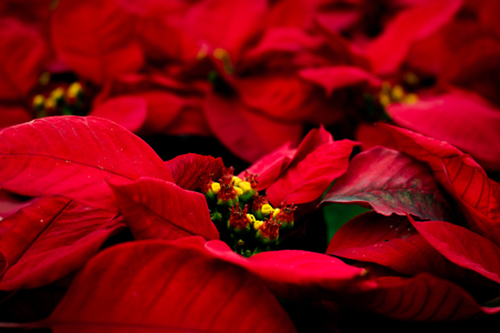 folwer: Background gorgeous red flowers