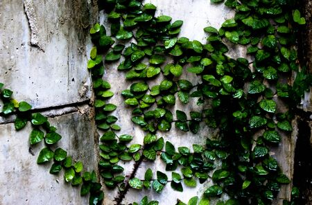non cultivated: Green ivy clinging to an old stone wall Stock Photo