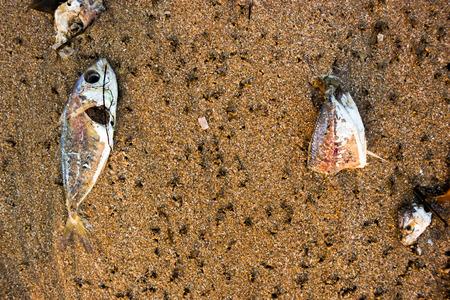 dead fish: Dead fish on the beach.