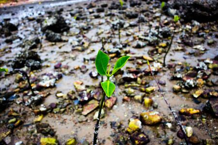 mangroves: Photo mangroves were planted in the sea.