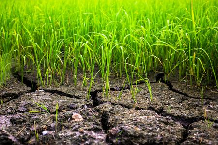 champ de mais: Riz champ de maïs à la sécheresse. Banque d'images