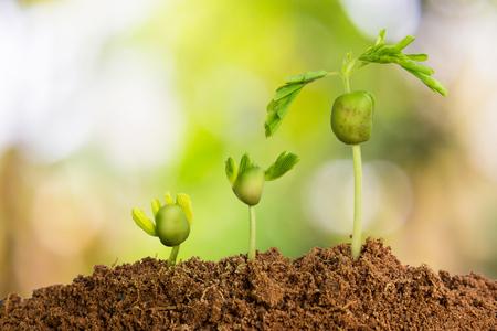 Les plantes qui poussent dans la séquence de germination sur un sol fertile avec le fond vert naturel.