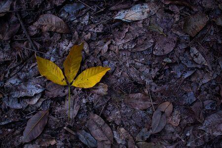 rubber: Rubber leaf.