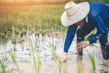 Los hombres son arroz de plántulas de arroz de trasplante en Tailandia, agricultor de concepto.