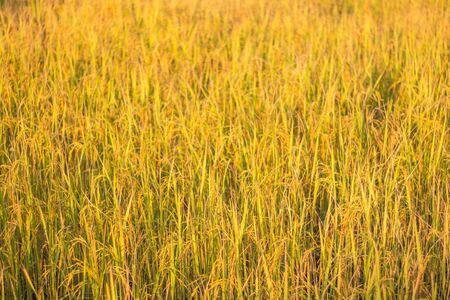 Rice yellow fieldis in the harvest season rice Thailand. Imagens
