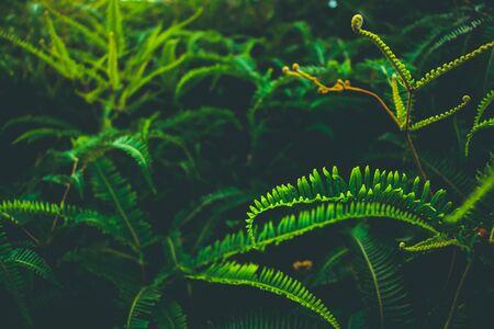 Beautyful ferns leaves green foliage natural fern background.