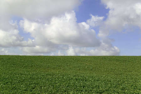 Spinach field with blue cloudy sky above horizon, suitable for backgrounds photo