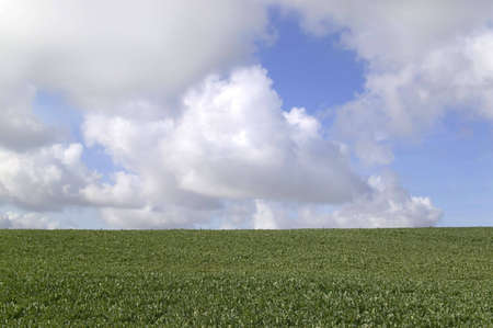 Field of spinach with a blue clody sky above, suitable for backgrounds photo