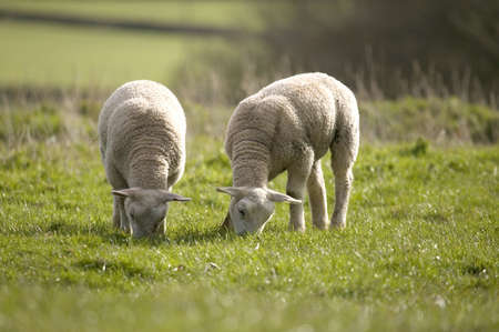 Two  lambs grazing on grass in the spring sunshine photo