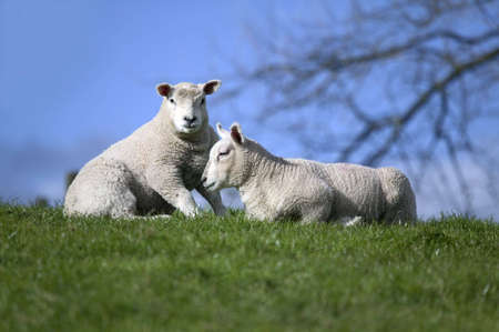 Two lambs on a grass and sky horizon photo