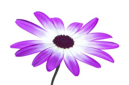 garden key: Senetti Magenta Bi-Color isolated on white, high key.