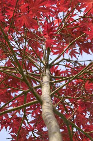 japenese: �Buscas un Japenese Maple Acer 'Fireglow'  Foto de archivo
