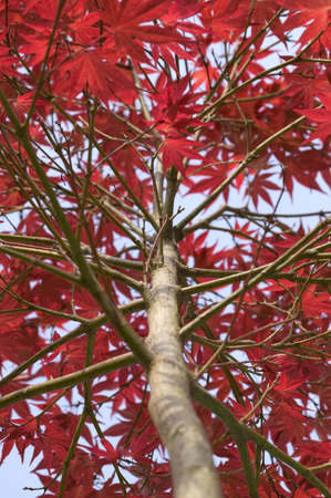 japenese: Looking up a Japenese Maple Acer Fireglow