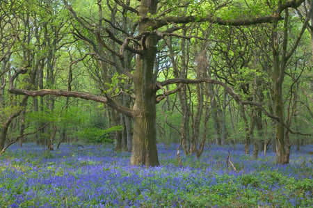 bluebells: An old Oak tree in an English bluebell wood Stock Photo