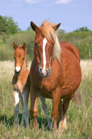foul: Wild mare and her foul in profile, focus on foal. Stock Photo