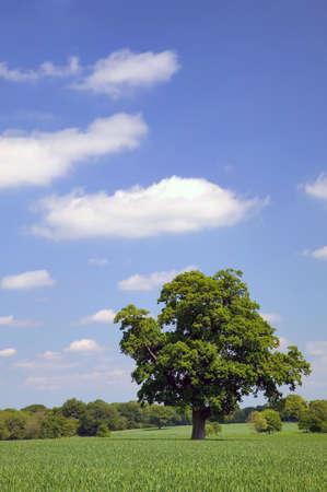 Oak tree in a field with a blue cloudy sky.