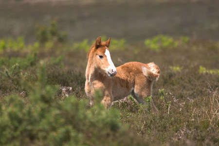amongst: Wild horse foal standing amongst the heather.