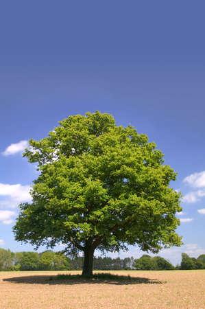 english oak: An Old Oak tree alone in a field on a summers day.