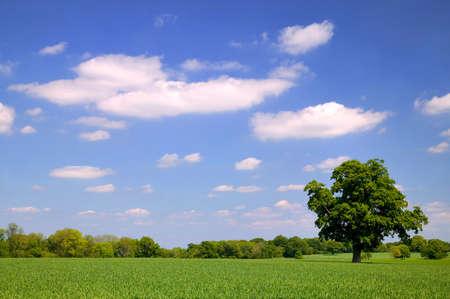 Old Oak tree in a wheat field Stock Photo - 956251