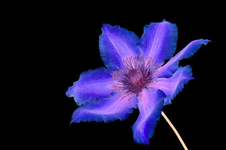 dr: Psychedelic shot of a Clematis (Dr Ruppel) flower, isolated on black.