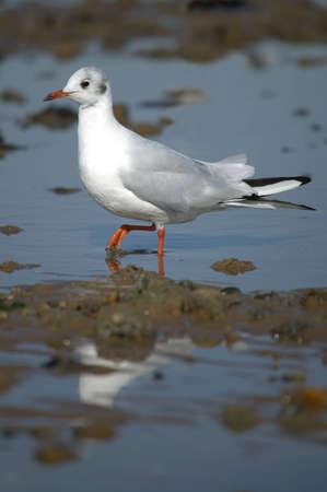 wading: Black headed gull wading on the seashore.