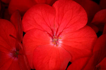 vignetting: Red Geranium, deliberate vignetting to highligt a single flower. Stock Photo