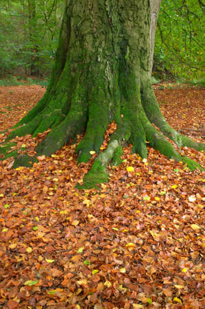 Moss covered trunk of an old beech tree and fallen leaves during Autumn. photo