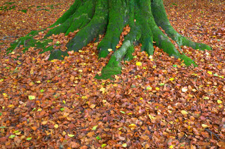 Moss covered tree trunk with fallen beech leaves during autumn. photo