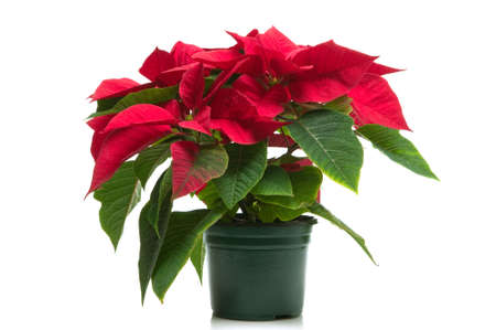 christmas flower: Poinsettia a.k.a Christmas flower, isolated on a white background.