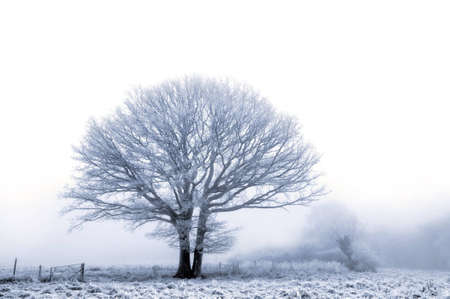 An old oak tree covered in a hoare frost on a cold foggy winters day. photo
