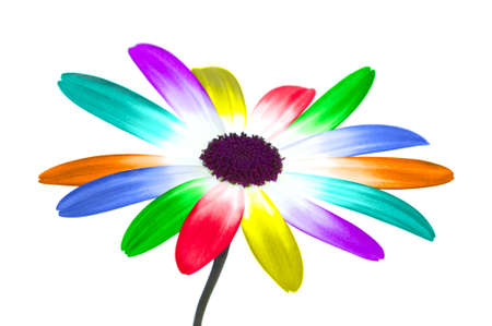 an unusual: Abstract image of a daisy with its petals changed to the colours of the rainbow, isolated on a white background.