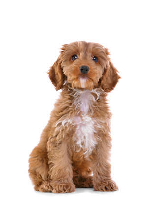an 11 week old male red and white Cockapoo puppy, who is a cross breed between a cocker spaniel and a poodle, sitting looking at camera and isolated on a white background. Stock Photo - 8944066