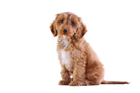 looking towards camera: an 11 week old male red and white Cockapoo puppy, who is a cross breed between a cocker spaniel and a poodle,sitting looking towards camera and isolated on a white background. Stock Photo
