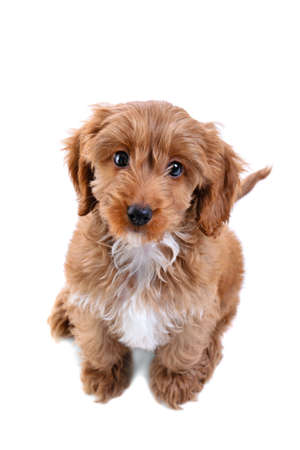 an 11 week old male red and white Cockapoo puppy, who is a cross breed between a cocker spaniel and a poodle, sitting looking up at camera and isolated on a white background. photo