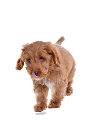 an 11 week old male red and white Cockapoo puppy photo