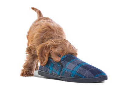 an 11 week old male red and white Cockapoo puppy, who is a cross breed between a cocker spaniel and a poodle, playing with a slipper, isolated on a white background. photo