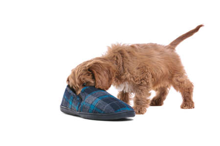 an 11 week old male red and white Cockapoo puppy, who is a cross breed between a cocker spaniel and a poodle, playing with a slipper photo