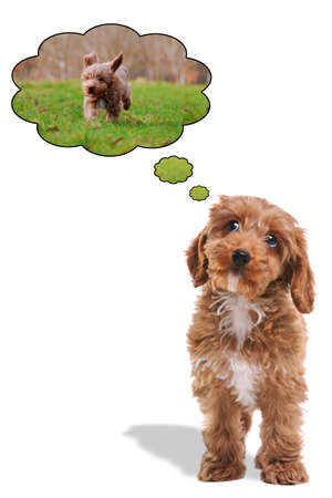 looking upwards: Puppy Cockapoo his eyes looking upwards with thought bubbles as he dreams about being outside on a walk. Stock Photo
