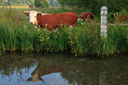 Horned Hereford cow standing in a field besides a river with a depth marker, it's reflection in the still water. Stock Photo - 18453485