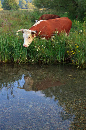 A Horned Hereford cow looking at it's reflection in the still waters of a river. Stock Photo - 18460240
