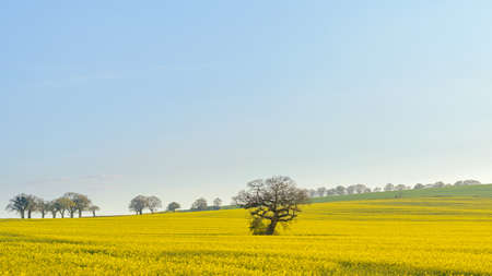 An old oak tree standing in a field on rapeseed on the South Downs in Hampshire on a sunny spring evening. Standard-Bild