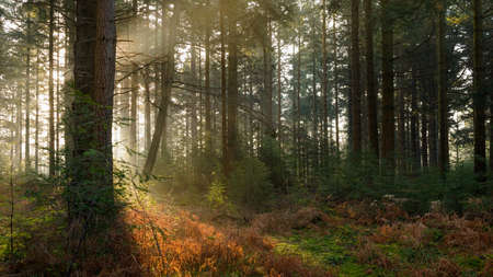 Early morning sunlight filtering it's way through the trees in Bolderwood Arboretum part of the New Forest in Hampshire. Standard-Bild